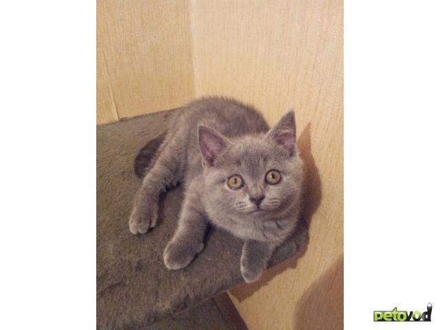 Продаю: Британский котенок, мальчик фото3