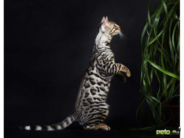 Продаю: тся бенгальские котята фото3
