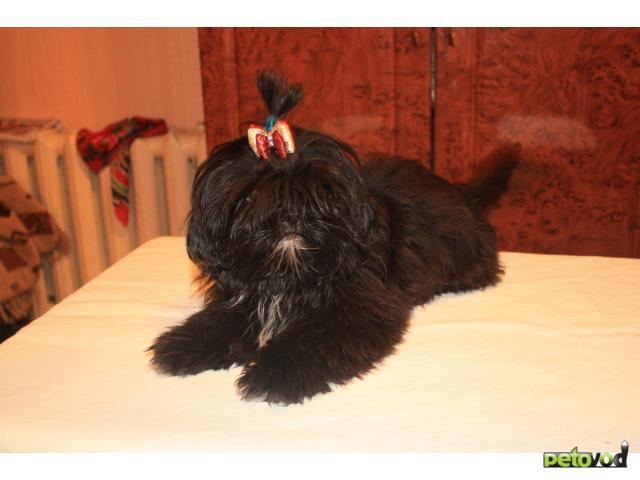 Продаю:  щенков ши-тцу фото2