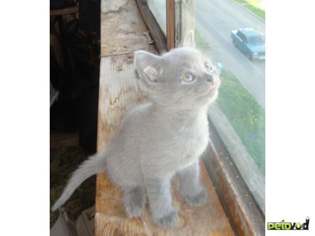 Продаю: Продаем британских голубых котят фото2