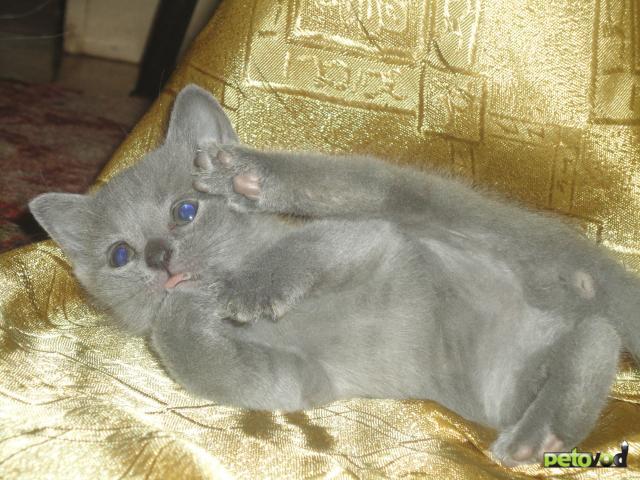 Продаю: Продаем британских голубых котят фото3