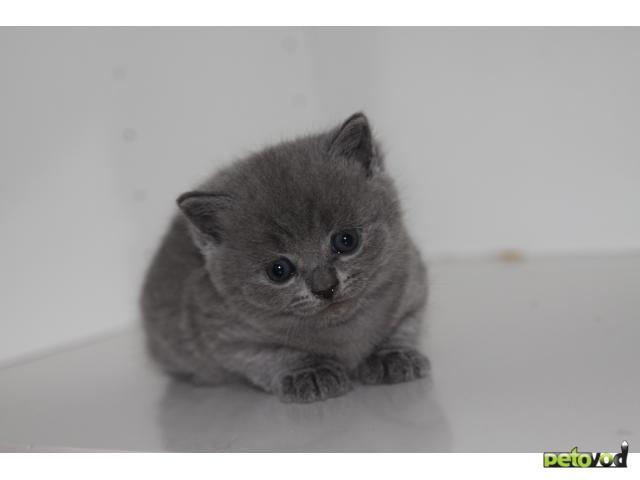 Продаю: Британские котята фото2