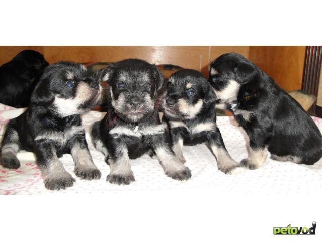 Продаю: Цвергшнауцера щенки фото2