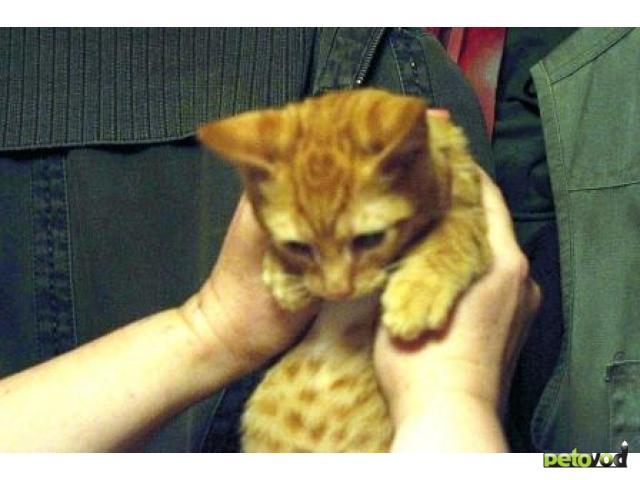 Отдам в дар: Отдам умного и ласкового котенка фото3
