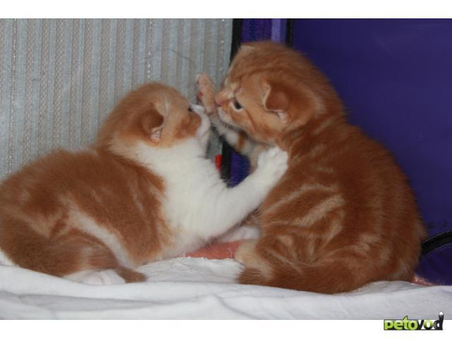 Продаю: Шотландские красавчики ищут себе хозяев фото3
