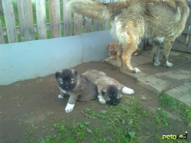 Продаю: Щенки кавказской овчарки фото2
