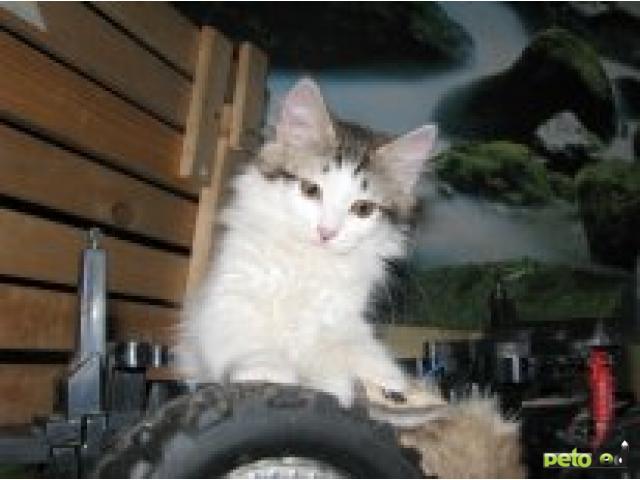 Отдам в дар: Метис сибиряка и курбоба фото3