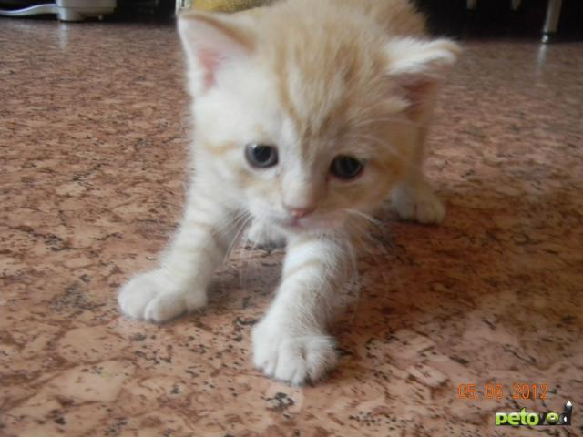 Продаю: Котята от британского кота и европейской кошки фото2