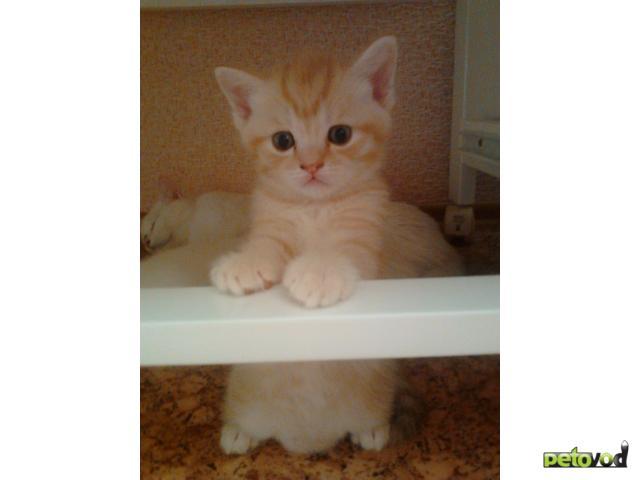 Продаю: Котята от британского кота и европейской кошки фото3