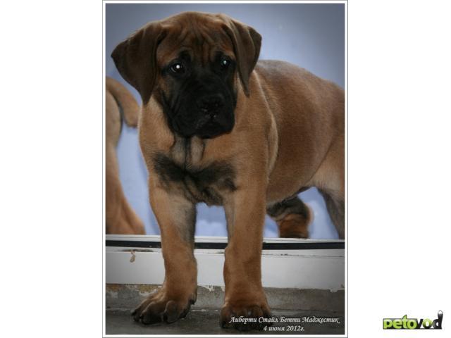 Продаю: тся щенки Южноафриканского Бурбуля фото2