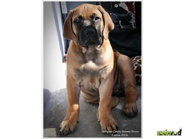 Продаю: тся щенки Южноафриканского Бурбуля фото3