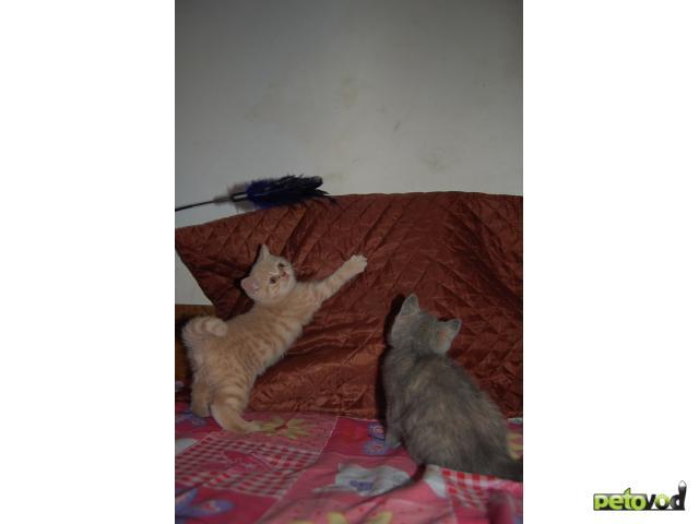 Продаю: Очаровательные британские котятки  фото3