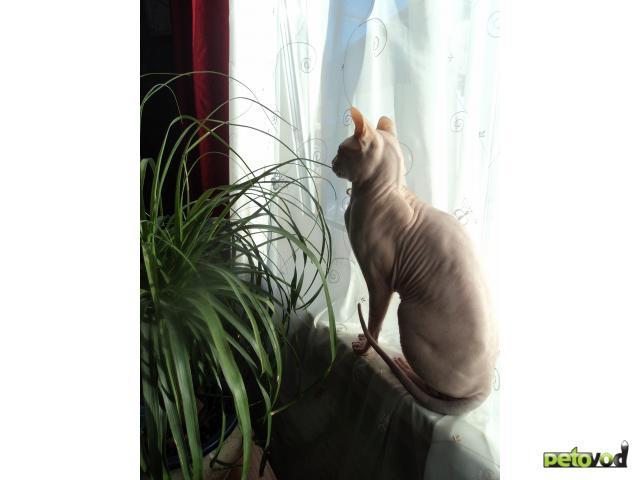 Вязка: Кот породы Донской сфинкс ищет кошку фото2