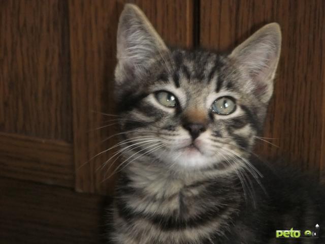 Отдам в дар: Отдаётся в добрые руки двухмесячный котёнок фото2