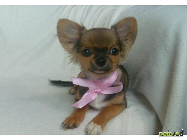 Продаю: Чихуауха щенки - чудесные девочки и мальчики фото2