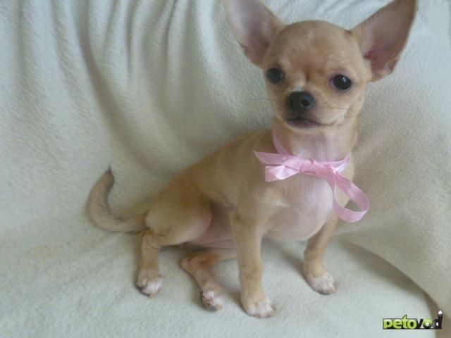 Продаю: Чихуауха щенки - чудесные девочки и мальчики фото3