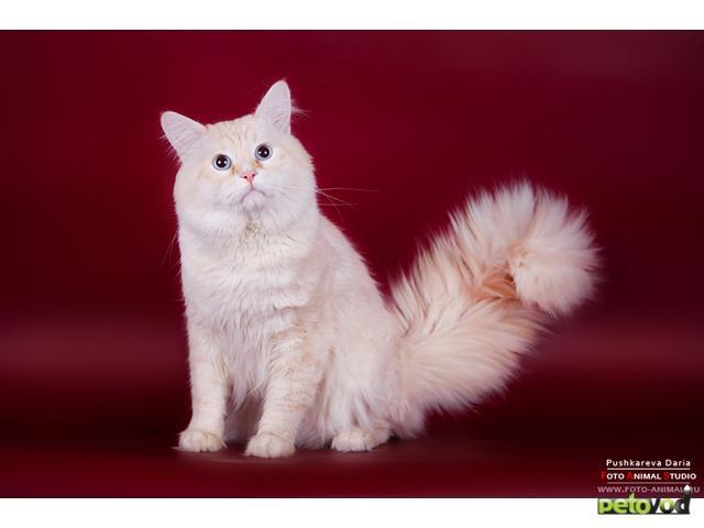 Вязка: Невский маскарадный кот для вязки фото3