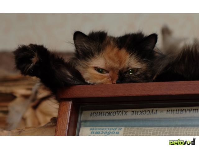Отдам в дар: Взрослых кошек в добрые руки фото3