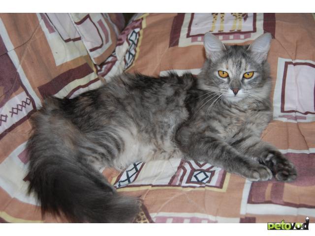 Отдам в дар: Кошечка Фрося ищет заботливых хозяев фото3