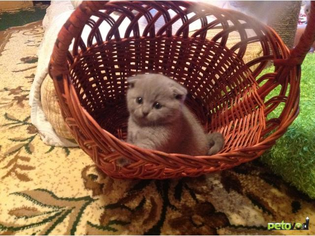 Продаю: Шотландские котята фото3