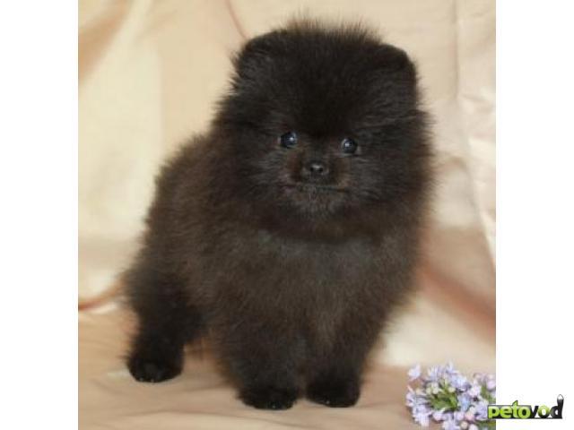 Продаю: Продается щенок Померанского шпица фото3
