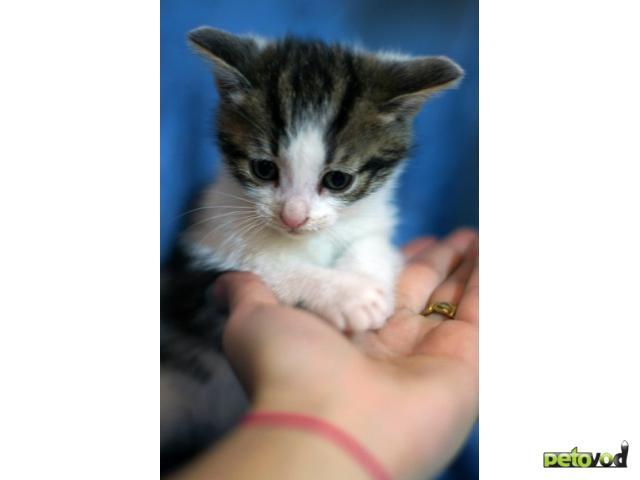 Отдам в дар: Очаровательные котята из Русского музея ищут дом фото3