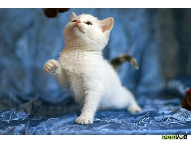 Отдам в дар: Очаровательные котята из Русского музея ищут дом фото2