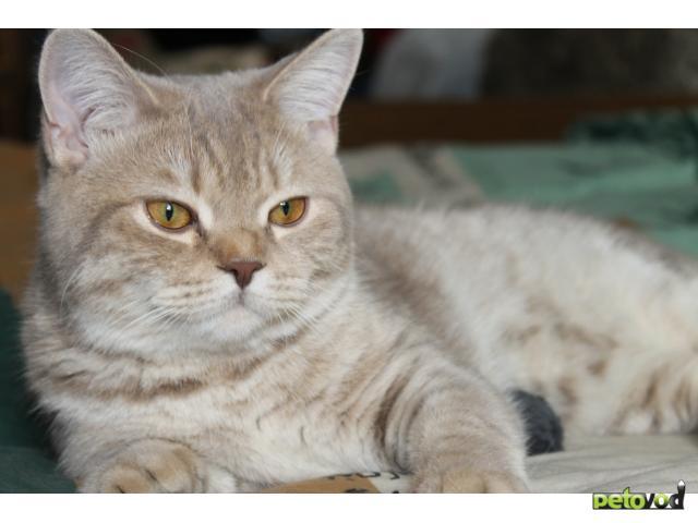 Вязка: Молодой британский кот ищет кошечку для вязки фото2