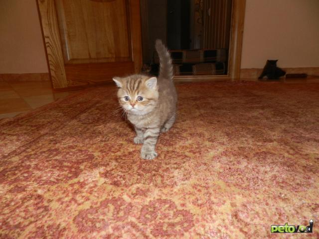 Продаю: Элитные британские котята фото2