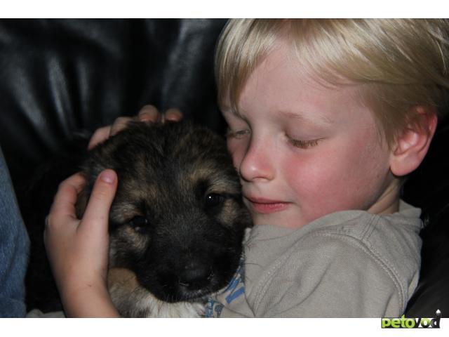 Отдам в дар: Замечательный щенок, метис овчарки, 2 месяца фото3