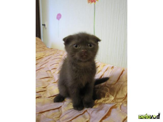 Продаю:  котенка шотландского вислоухого фото2