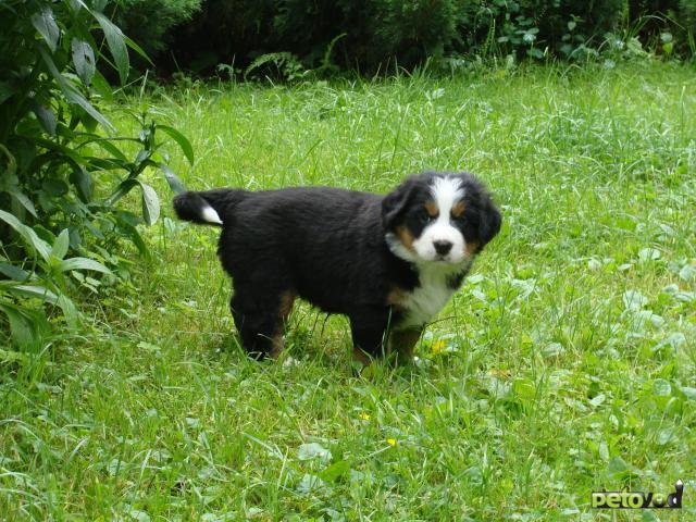 Продаю: тся щенки бернского зенненхунда (девочки)  фото2
