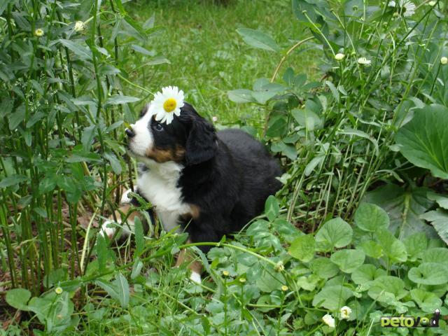 Продаю: тся щенки бернского зенненхунда (девочки)  фото3