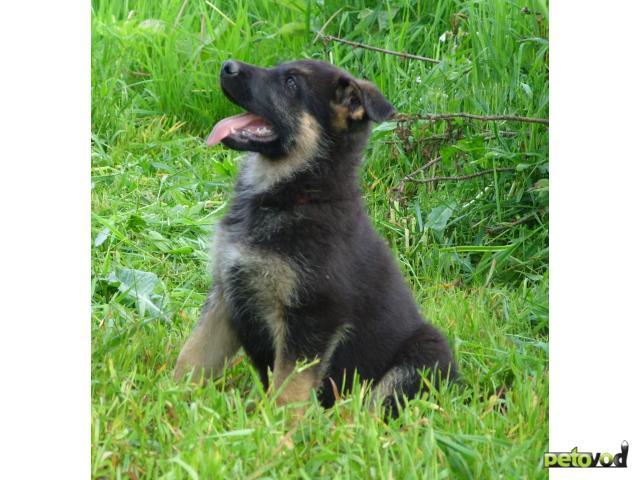Продаю: Отличные щенки ВЕО фото2