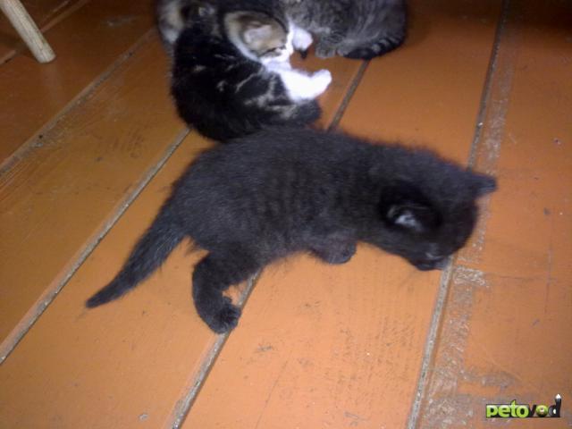 Отдам в дар: Приблудная кошка на даче родила 5 котят фото2