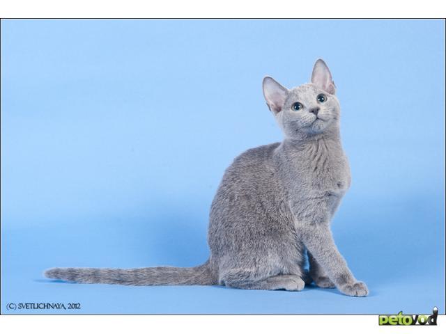 Продаю: Русские голубые котята фото2