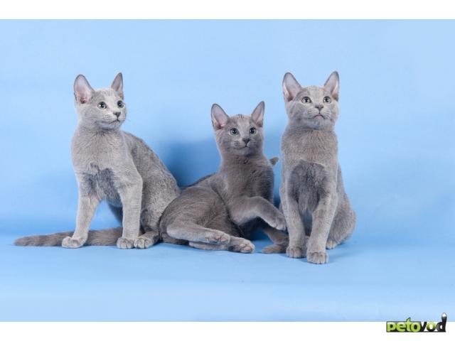 Продаю: Русские голубые котята фото3