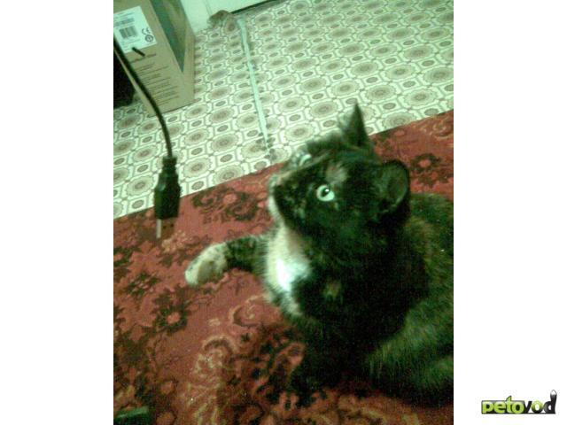 Потерялся/Нашелся: Пропала кошка, Рязань, ул Солнечная фото2