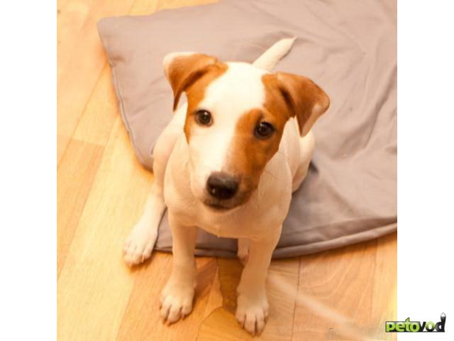 Продаю: Парсон Рассел терьер щенок фото2