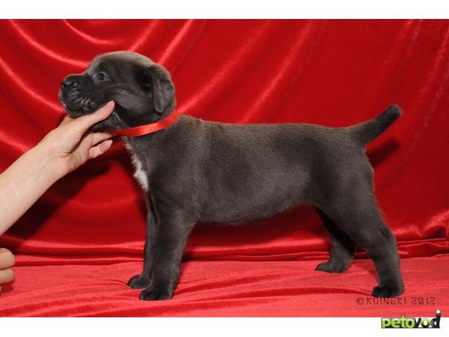 Продаю: Элитные щенки Кане Корсо фото2