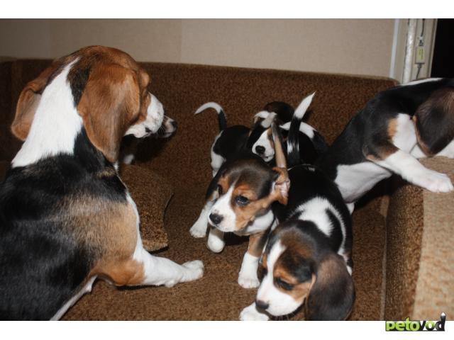 Продаю: тся щенки породы Бигль  фото2