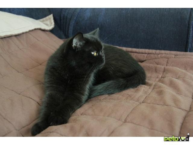 Отдам в дар: Отдам в дар британскую кошку фото2