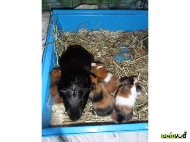 Продаю: Морские свинки гОдинцово фото3