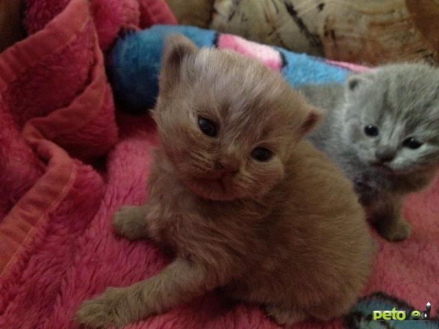 Продаю: Британские котята голубого и кремового окрасов фото2