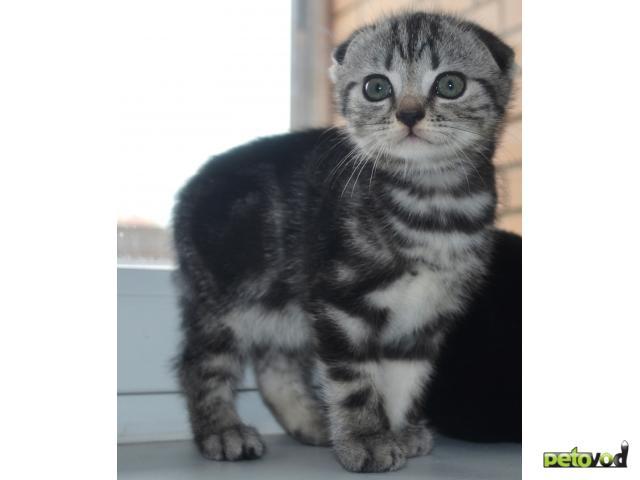 Куплю:  шотландский котят фото2