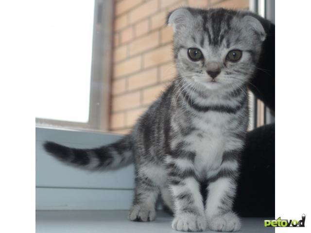 Куплю:  шотландский котят фото3