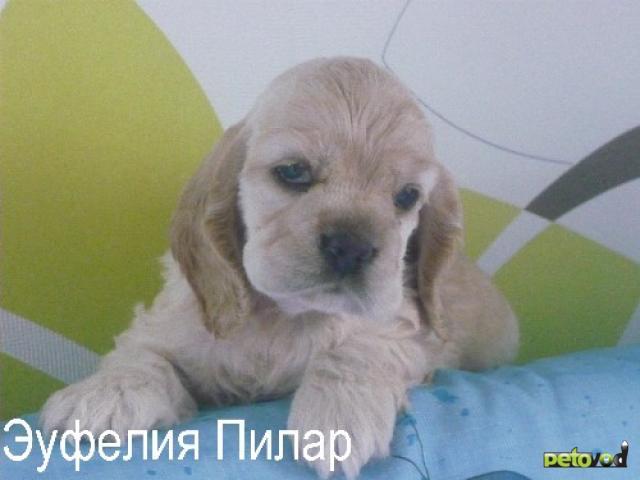Продаю: Перспективные щенки Американского кокер спаниеля фото2