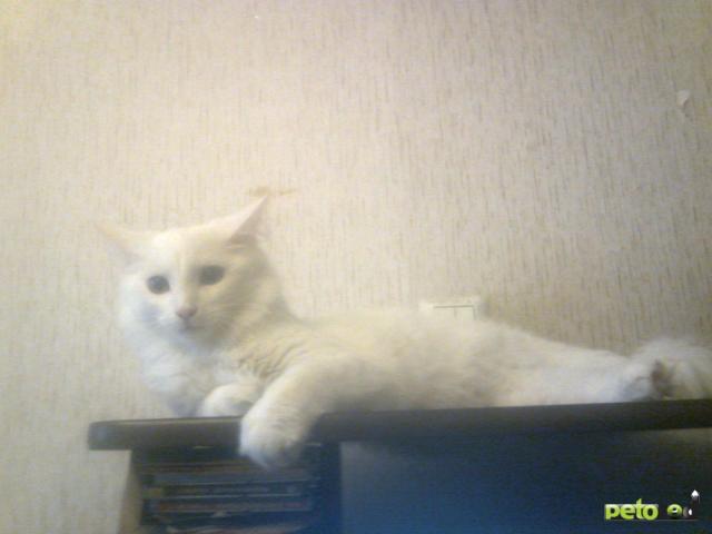 Потерялся/Нашелся: Пропал белый кот, Щелковское шоссе д26 фото2