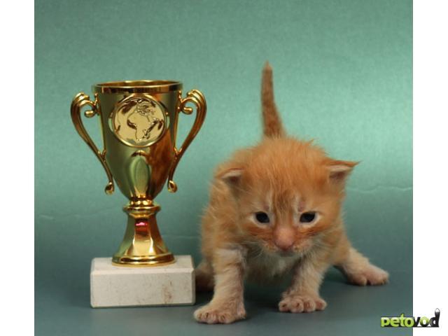 Продаю: Котята мейн кун от кота - гиганта 12 кг фото2