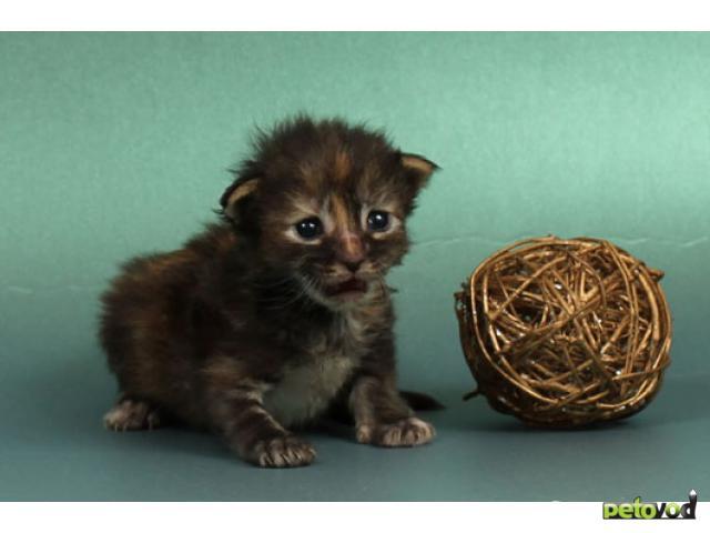 Продаю: Котята мейн кун от кота - гиганта 12 кг фото3